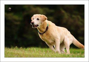 拉布拉多猎犬训练