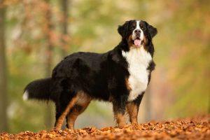 伯恩山犬,狗品种