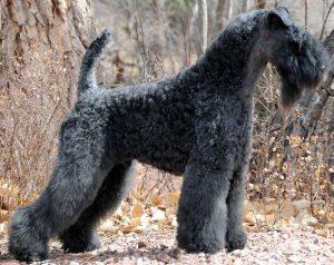凯瑞蓝梗,狗品种