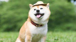 柴犬,狗品种