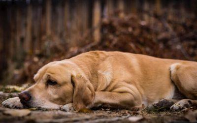 犬髋关节发育不良原因 迹象 治疗方法