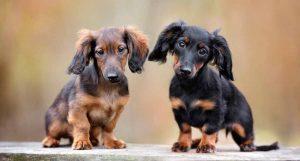 腊肠犬幼犬,精美大图