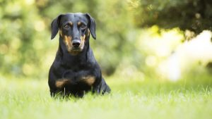 腊肠犬,精美大图