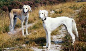 萨路基犬猎犬