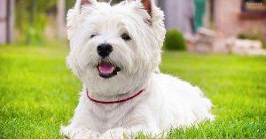 西高地白梗,狗品种
