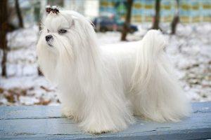 马尔济斯犬,狗品种