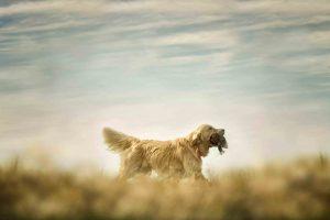 金毛猎犬捕猎