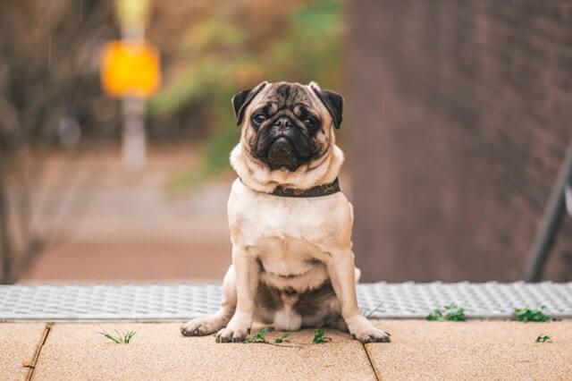 狗的短头颅综合征