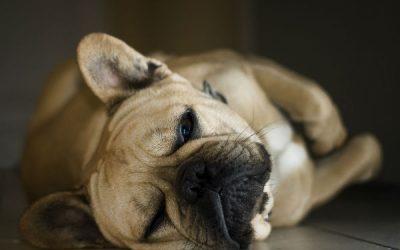 狗胃肿胀原因症状治疗方法