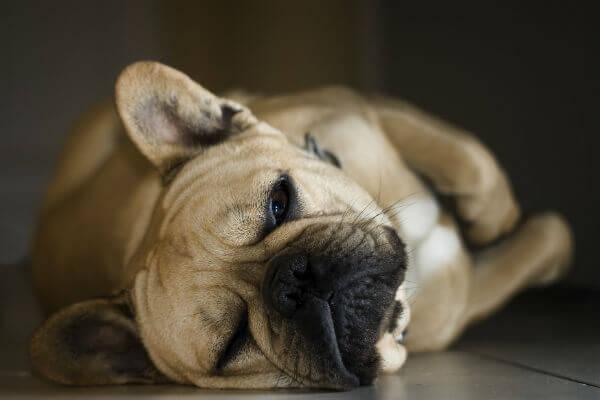 狗胃肿胀,胃扭曲