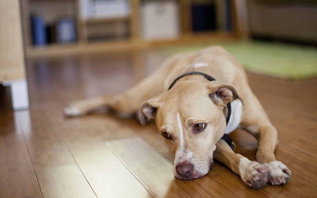 狗心脏骤停原因,主人该怎么办?