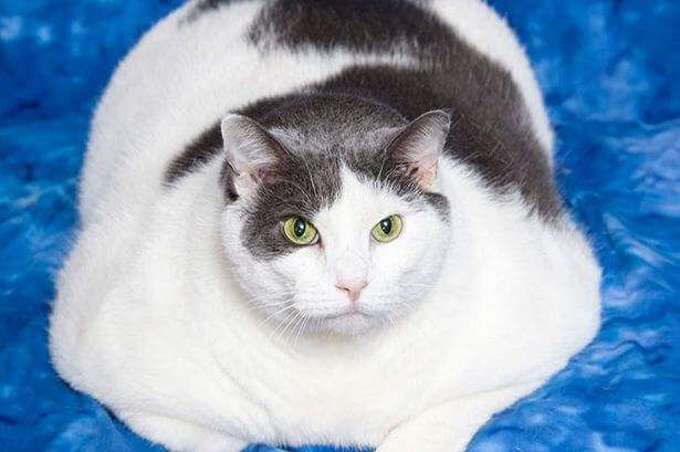 猫关节炎的原因和特征