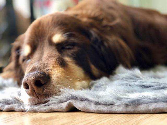宠物狗安乐死过程