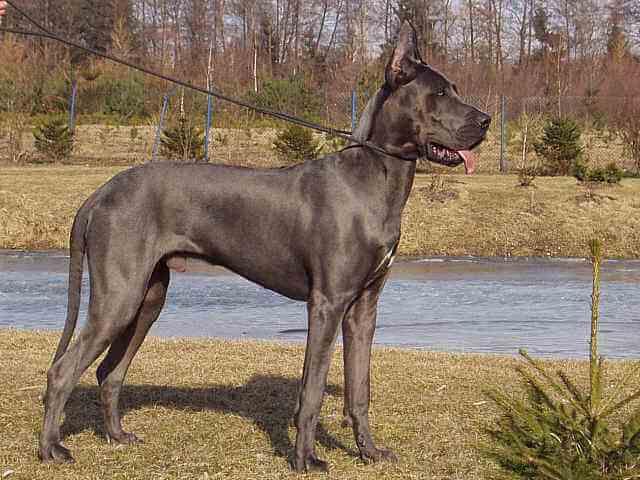 狗狗品种:大丹犬 温柔的巨人