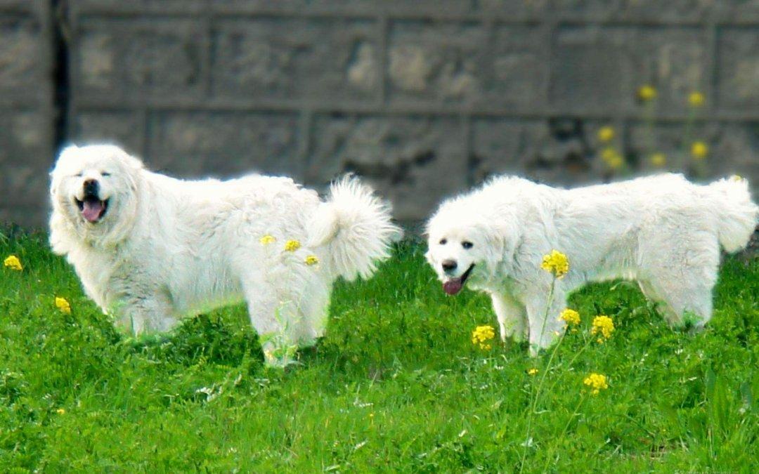 庇里牛斯山犬 亲人温和大白熊犬犬品种简介