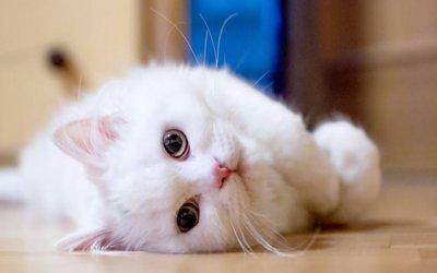 山东狮子猫与波斯猫区别,毛发护理梳理方法