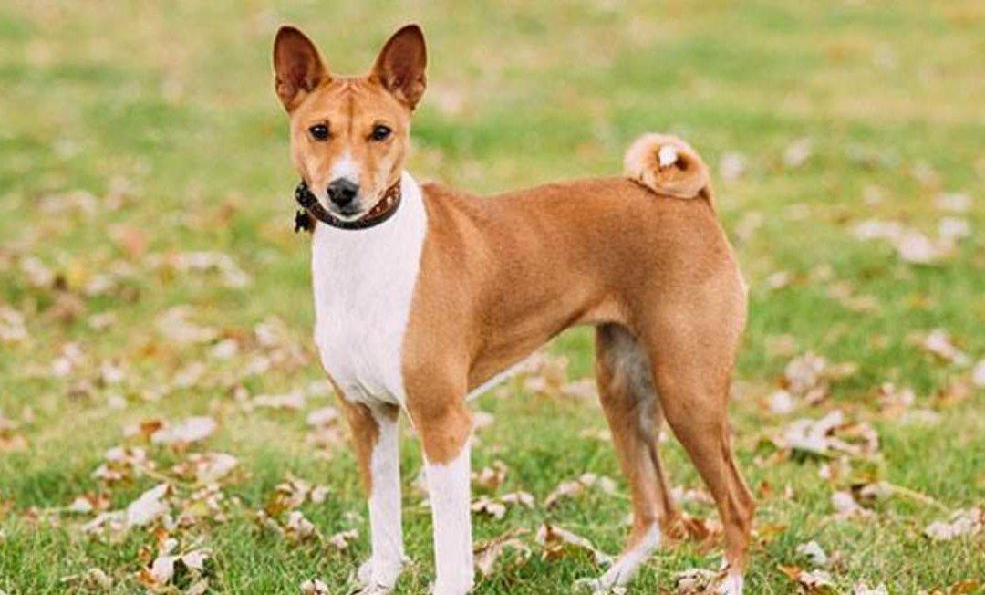 巴仙吉犬狗品种简介