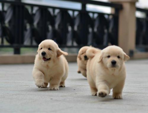 怎么选购幼犬?选购幼犬的标准原则