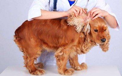 认识犬猫耳疥虫 宠物疾病认识
