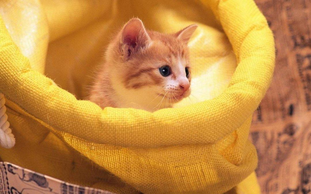 怎么训练幼猫?训练幼猫的方法
