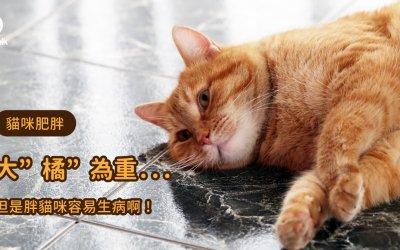 猫很胖怎么办?猫胖了容易得的病 猫的胖瘦判断标准