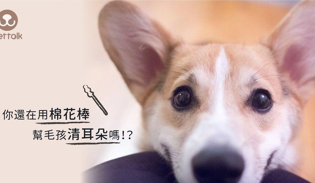 狗狗耳朵很脏,应该怎么清理—狗狗耳朵清洁方法