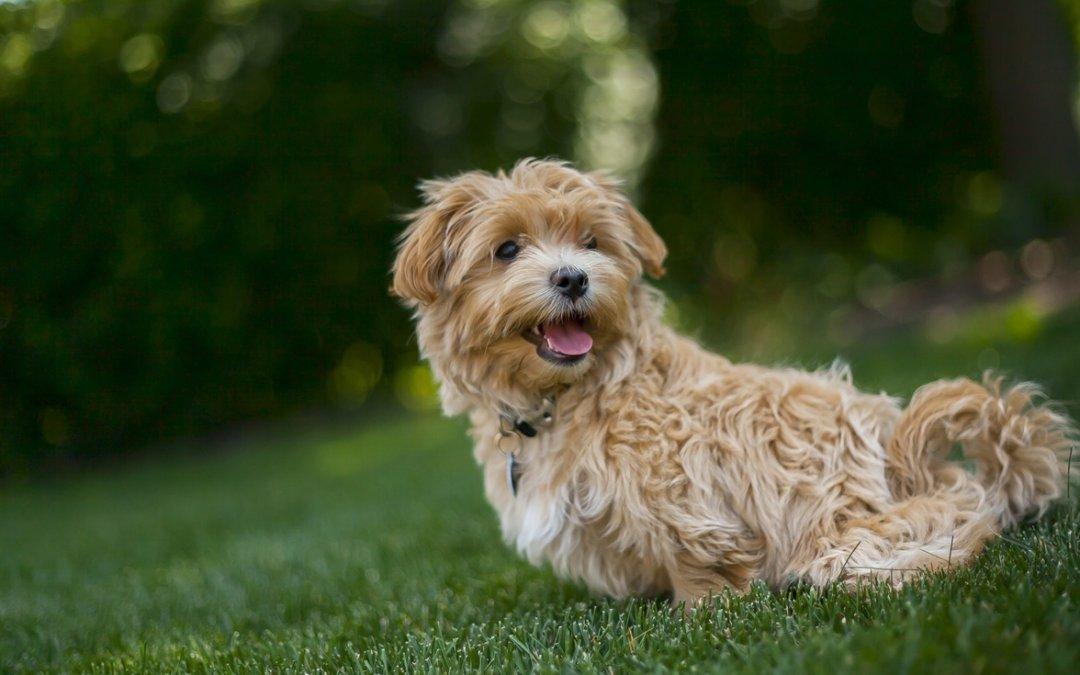 狗狗怀孕的初期征兆有哪些?最全狗狗怀孕过程及产后照顾