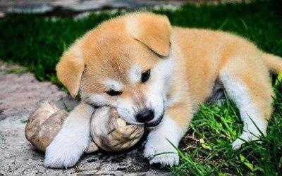 狗狗爱吃屎是什么原因?该怎么解决?
