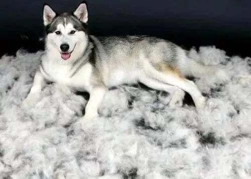 狗狗掉毛很严重的原因?狗狗掉毛很厉害怎么办?