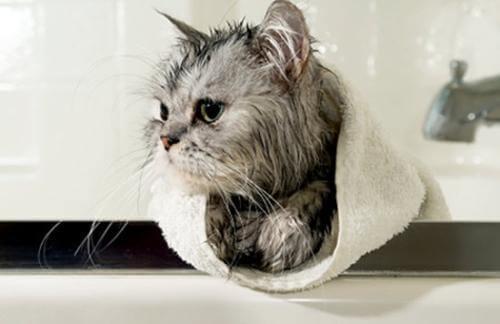 猫咪洗澡需要注意些什么?水温度为多少?多久洗一次