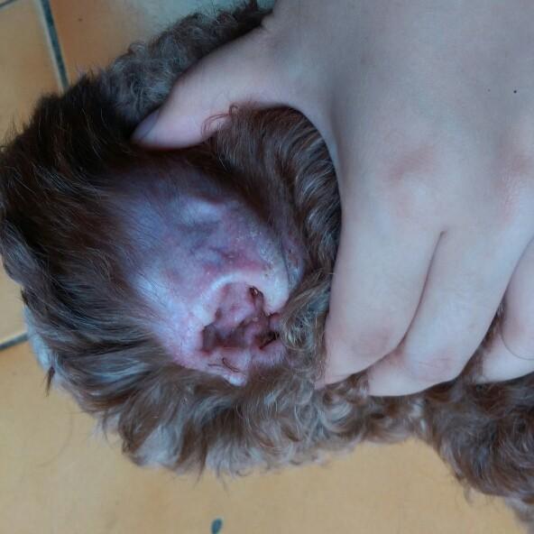 狗狗耳朵有异味与皮屑